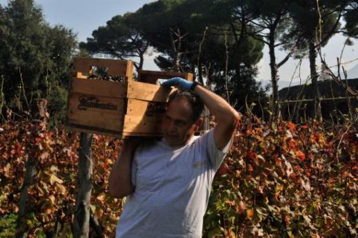 Nelle precedenti vendemmie di Pompei sono stati raccolti mediamente 30 quintali di uva ciascuna