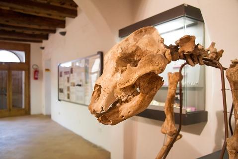 Lo scheletro dell'orso speleo nelle sale del museo per la Preistoria del Monte Cetona