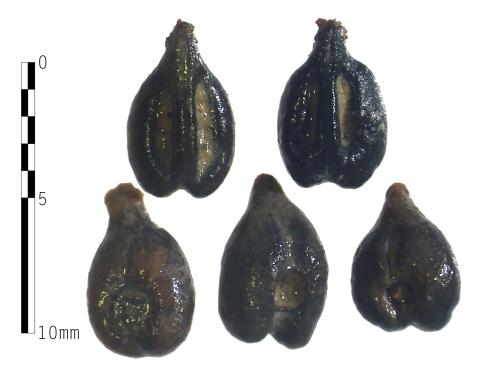 I semi di uva recuperati da Alvaro Tracchi nel sito etrusco-romano di Cetamura del Chianti