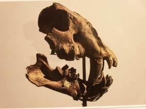 Un fossile di mammifero conservato al museo Paleontologico