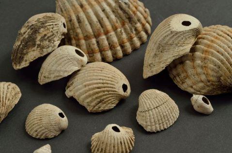 Conchiglie usate 8mila anni fa come ornamento: sono esposte alla mostra di Udine