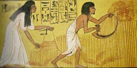 La raccolta del grano nell'Antico Egitto da un affresco ritrovato in una tomba a Deir el-Medina