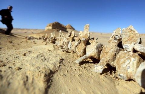 I resti fossili dei grandi cetacei nel percorso all'esterno del museo di Wadi el Hitan