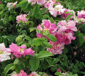 La rosa Gallica Versicolor era già presente nella Pompei di duemila anni fa