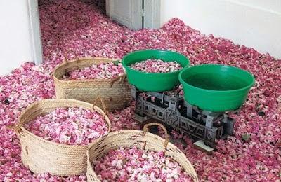 La raccolta di petali delle preziosissime rose di Taif